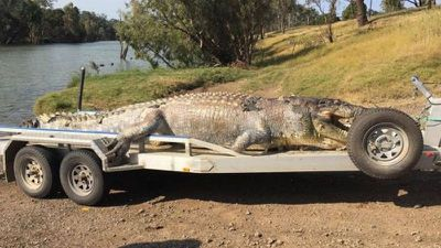 Huge croc found with bullet in head