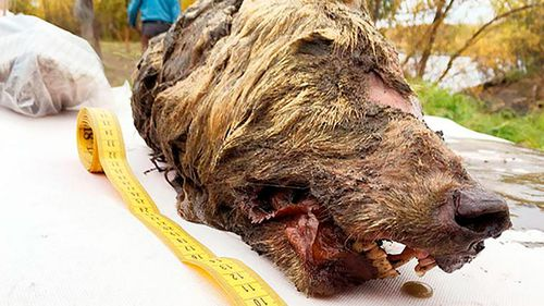 The wolf's head was found by locals looking for mammoth ivory.