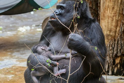 Gorilla surprises zookeepers by giving birth to baby after they assumed she was 'just fat'