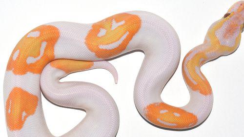 The lavender albino piebald ball python has three smiley faces on it.