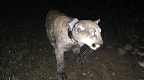 Mountain lion captured in US suburb, released