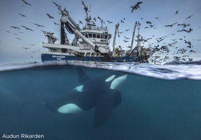 'Splitting the Catch', Audun Rikardsen (Norway)