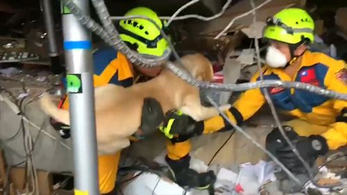 The labrador sniffed out humans in the earthquake rubble. (Fire Bureau of Taiching City)