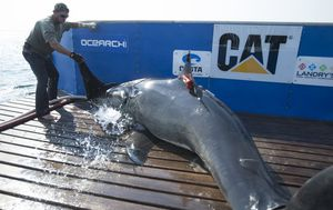 Great white shark named Katharine re-emerges after disappearing a year ago