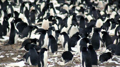 Nesting Adélie penguins. (Louisiana State University, Courtesy Michael Polito)