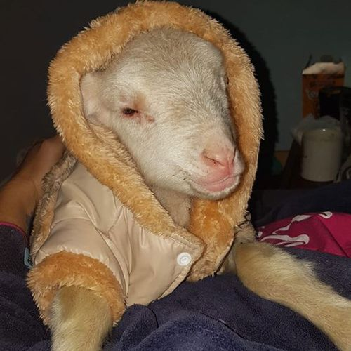 Georgina Roar's little lamb, Stewart, has also experienced a hard start in life after he was taken from his mother.