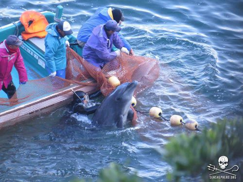 Dolphins captured in the cove are either sold into captivity, or slaughtered and sold for consumption.