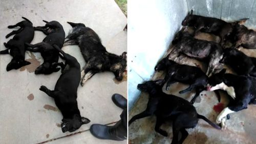One of the dogs was shot by police officers and the others euthanised at their owner's request. Picture: KXII