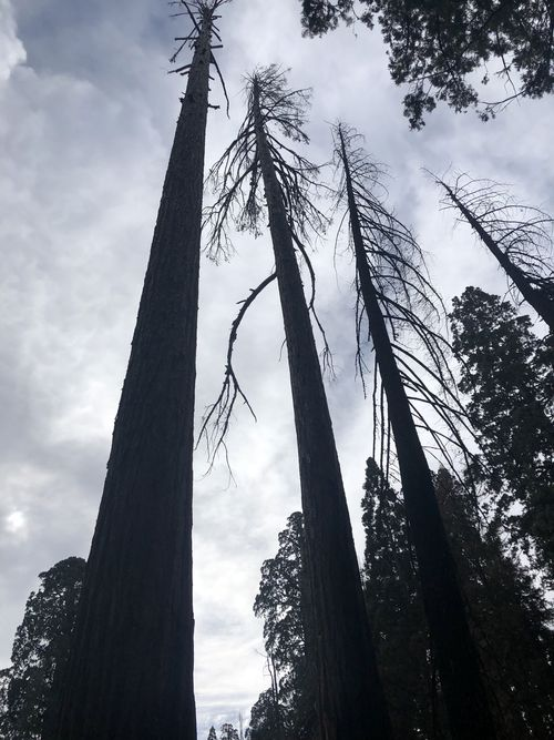 Three sequoias stand stripped bare of needles. Such trees will fall over and die.