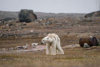 A Polar Bear's Struggle