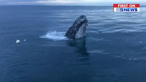 The whale was spotted by a fisherman.