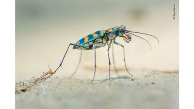 Riverine Tiger Beetle
