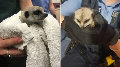 Man fined after stealing baby meerkat he 'fell in love' with