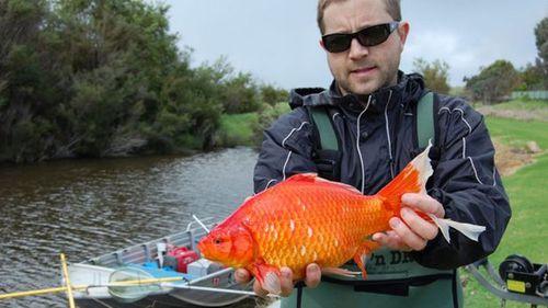 Football-sized goldfish travelling hundreds of kilometres in WA