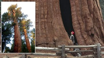 The sequoias can grow to over 90 metres tall, and stand for 3000 years.