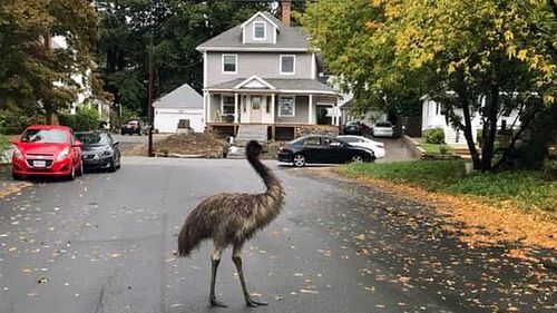 In this photo released by the Haverhill Police Department, an emu walks on a neighbourhood street on Wednesday, September. 30, 2020, in Haverhill, Massachusetts