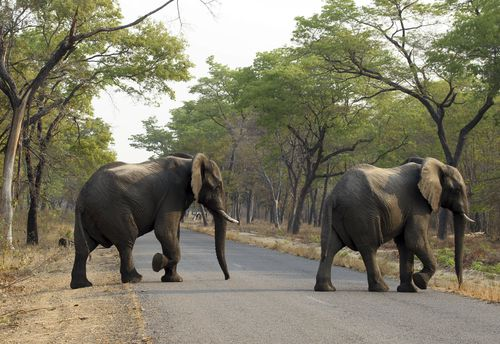 Zimbabwe is intent on selling off much of its elephant population in a bid to reduce high numbers of the animal.