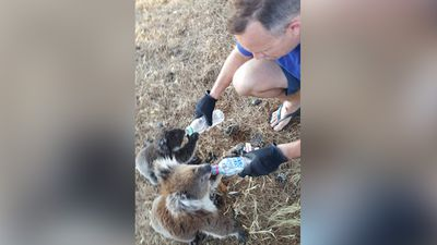 <p>As a heatwave hits South Australia and the state faces its third day of temperatures higher than 40C, residents are rising to the occasion and caring for local animals and even finding creative ways to occupy themselves. </p><p>Locals were caught on camera earlier today helping out a couple of koalas, lending them a hand and some water as they toughed out the extreme temperatures. (Supplied: Robert Varley)</p>