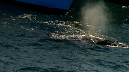 The unfortunate creature was seen cruising along the water's surface with the netting around one of its fins. Picture: 9NEWS