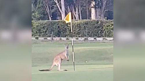 A kangaroo had a bizarre interaction with a flag on a golf course. (Bettina Hammant)