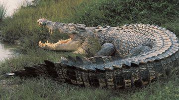 Crocs could be harvested like Canadian polar bears