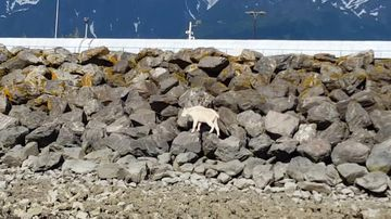 Mountain goat drowns trying to escape picture-hungry crowds