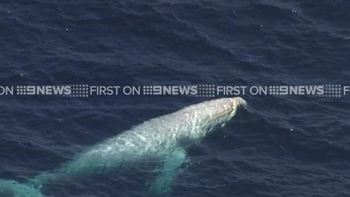 Migaloo is beloved online, with Facebook and Twitter accounts posting tips to the white whale's whereabouts. (9NEWS)