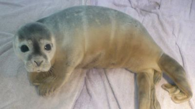 "<p><strong></strong>A little lost orphaned seal discovered by a herd of cows in a puddle of mud in England was released back into the wild this week by the <a href=""https://www.facebook.com/natureland"">Natureland Seal Sanctuary</a>. </p><p><strong>Click through to see pictures from the seal pup's journey. </strong></p>"