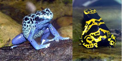 <strong>Poison dart frog</strong>