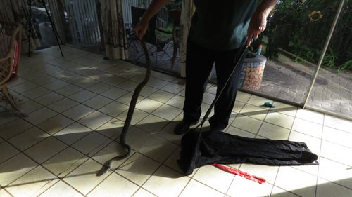 Stretched out, the snake was roughly seven feet in length.