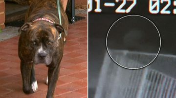 Loyal dog who defended pregnant woman stabbed