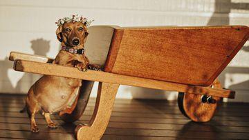 Cindi the sausage dog's stunning maternity shoot