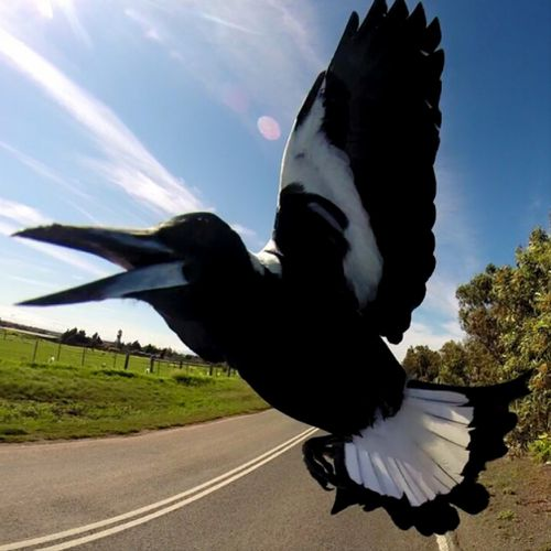 Magpie season has come early and some Melbourne cyclists are already being attacked. (Instagram / bike_selfie_king)
