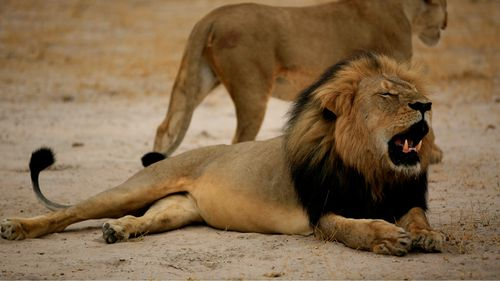 US airlines ban shipments of African animal 'trophies' amid global outrage at iconic lion's death