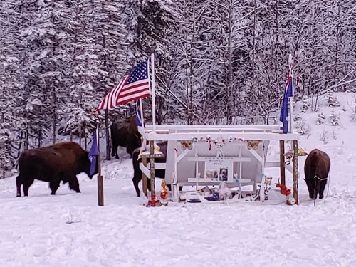 Bison belonging to the Liard herd stand around the memorial for Lucas Fowler and Chynna Deese, who were murdered in Canada last July.