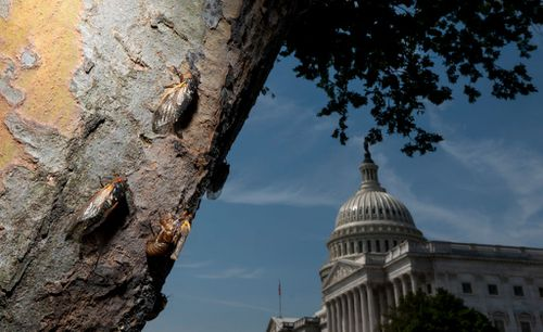 Brood X is almost here. Billions of cicadas are emerging in eastern US