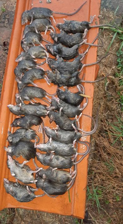 There have even been reports of hospital patients in regional New South Wales being bitten by mice as the horror rodent plague escalates.