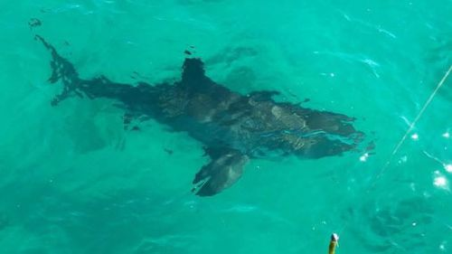 The shark may have been attracted by locals looking to catch garfish or squid.