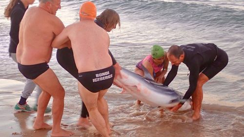 Along with five friends, Selby moved the shark to the sand to avoid any panic breaking out on Bondi Beach. Picture: Supplied.