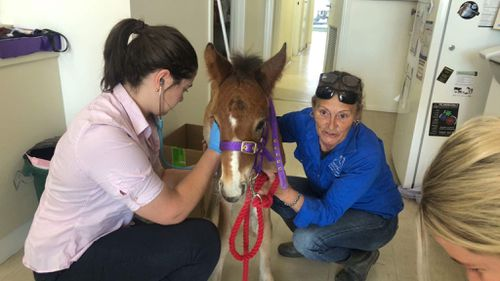 A rescued foal is being treated at the vet.