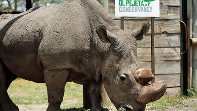 World's last male northern white rhino dies after illness