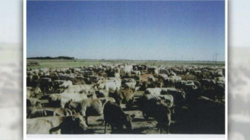 The RSPCA has been successfully sued after a herd of purebred Murray Greys were culled. (9NEWS)