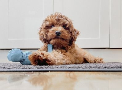 A cavoodle laying on the ground.