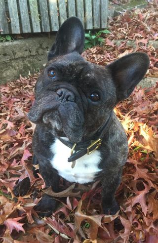 Travel pets French Bulldog dies on Virgin Australia flight