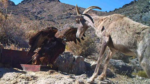 In this 2012 photo from a US Fish and Wildlife Service motion-activated camera, a golden eagle confronts a desert bighorn sheep at Desert National Wildlife Refuge in Nevada. (AAP)