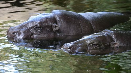 A male and female Pygmy Hippopotamus at Melbourne Zoo. (AAP)