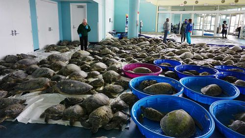 Thousands of Atlantic green sea turtles and Kemp's ridley sea turtles suffering from cold stun.