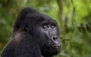 Man who killed mountain gorilla 'Rafiki' sentenced to 11 years in prison