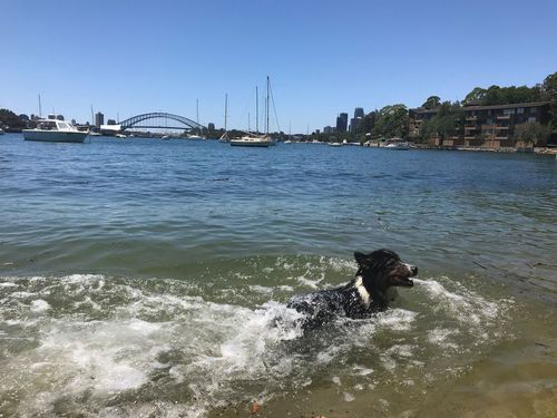Hot dogs go for a dip at Birchgrove. (Chris O'Keefe)