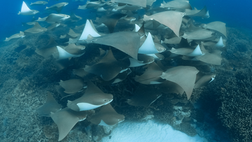 The cownose ray, is a species of eagle ray, which is typically  found throughout the western Atlantic and Caribbean.